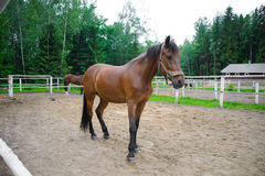 Horse in the enclosure. Stock Photography