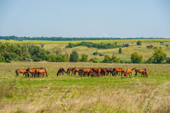 Horse. English breed horses on the ranch, the summer season Stock Image