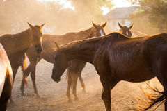Horse. English breed horses on the ranch, the summer season Royalty Free Stock Image