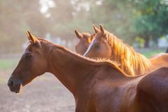 Horse. English breed horses on the ranch, the summer season Royalty Free Stock Images