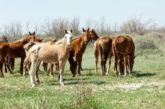 Horse, equine, nag, hoss, hack, dobbin. A solid-hoofed plant-eating domesticated mammal with a flowing mane and tail royalty free stock images