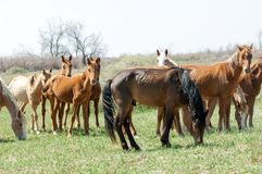 Horse, equine, nag, hoss, hack, dobbin. A solid-hoofed plant-eating domesticated mammal with a flowing mane and tail royalty free stock photography