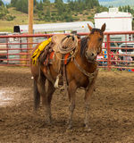 A horse equipped for a rodeo at an annual event in colorado Stock Photography