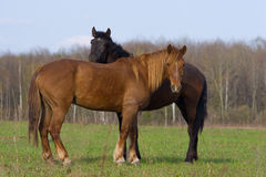 Horse (Equus caballus) Royalty Free Stock Photos