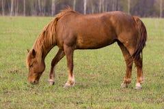 Horse (Equus caballus) Stock Image