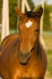 Horse (Equus caballus) Stock Photography