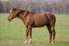 Horse (Equus caballus) Stock Photos