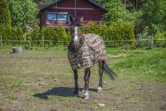 Horse, equus ferus caballus Royalty Free Stock Images
