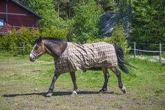 Horse, equus ferus caballus Stock Photography
