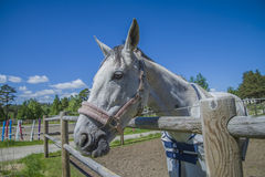Horse, equus ferus caballus, close-up Royalty Free Stock Photo