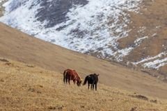 Horse Equus ferus caballus eating grass on a mountain in SiChuan, China Stock Photo
