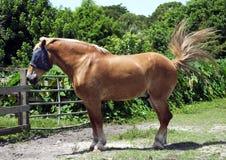 Horse (Equus ferus caballus) Stock Photography