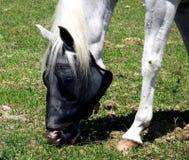 Horse (Equus ferus caballus) Stock Image