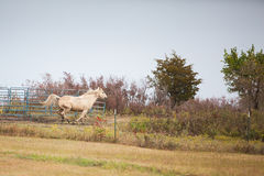 Horse escapes. A Palomino horse escapes out of the corral Stock Photography
