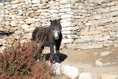 Horse from everest trek route. In nepal Stock Images