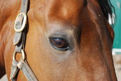 Horse eye. Close up of a bay colored Morgan Horse royalty free stock images