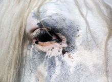 Horse eye. Portrait of a Welsh section B white pony Royalty Free Stock Image