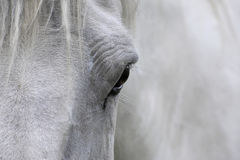 Horse eye. The eye of a roan horse Stock Image