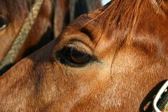 Horse eye. Brown horse eye on the sunny day Stock Images