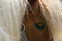Horse eye. The eye of a chestnut shetland pony stock image