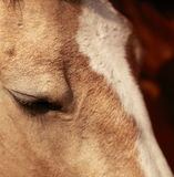 Horse eye close-up Stock Images