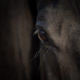 Horse eye close-up. Arabian black horse head. Horse detail on dark background. Square photo Stock Photos
