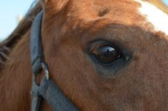 Horse eye. Close up of horse eye, Closeup of brown horses eye with lashes, brown and white coat Royalty Free Stock Photo