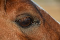 Horse eye. Close up of horse eye, Closeup of brown horses eye with lashes, brown and white coat Stock Image