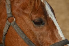 Horse eye. Close up of horse eye, Closeup of brown horses eye with lashes, brown and white coat Stock Photos