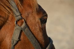 Horse eye. Close up of horse eye, Closeup of brown horses eye with lashes, brown and white coat Royalty Free Stock Photos