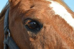 Horse eye. Close up of horse eye, Closeup of brown horses eye with lashes, brown and white coat Royalty Free Stock Images