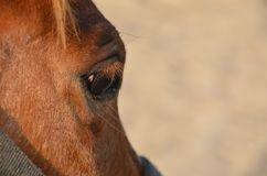 Horse eye. Close up of horse eye, Closeup of brown horses eye with lashes, brown and white coat Stock Photography