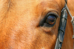 Horse eye. Close-up view of the horse's head. Focused on the eyeball Stock Images