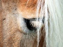 Horse eye. Close up of the eye and white mane of a haflinger horse royalty free stock photo