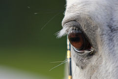 Horse eye closeup. White horse eye closeup on green background royalty free stock images