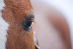 Horse Eye Closeup. Close up of an eye of a red horse stock image