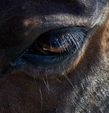 Silhouette closeup of thoroughbred Canadian rodeo barrel racing horses eye. Closeup of Rodeo barrel racing horse on Canadian farm royalty free stock photography