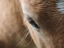 Horse eye 181) Royalty Free Stock Image