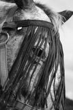 Horse eye. Horse head detail black and white stock photography