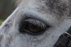 Horse eye. Horse eye with white eyelashes Stock Images