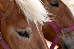 Horse Eyes Stock Image