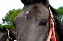 Horse eyes and upper portion of face Royalty Free Stock Image