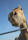 Horse face. Close-up of a funny looking tan horse against sky background Royalty Free Stock Photo