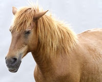 Horse Face Royalty Free Stock Photo
