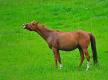 Horse Face. A beautiful brown horse in a green pasture raisis his head to take in the fresh air stock images