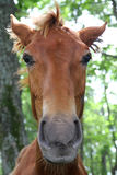 Horse face Stock Photography