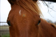 Horse Face. Sorrel filly with white spot on forehead and big brown eyes and flowing forelock Royalty Free Stock Images