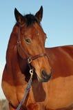 Horse face and blue sky. Hanavarian bay horse portrait against blue sky Stock Photography
