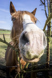 Horse Face Royalty Free Stock Photo