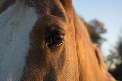 Horse Face Close Up Royalty Free Stock Images
